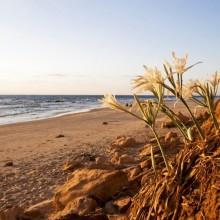 Mediterranean Sea Daffodil