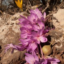 ​Feinbrun's Autumn Crocus