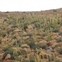 Desert Spike