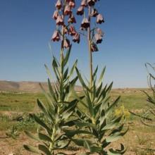 Persian Fritillary
