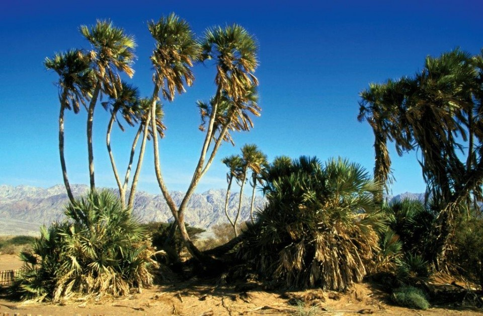 Doum Palm