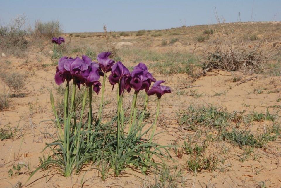 Mary's Iris