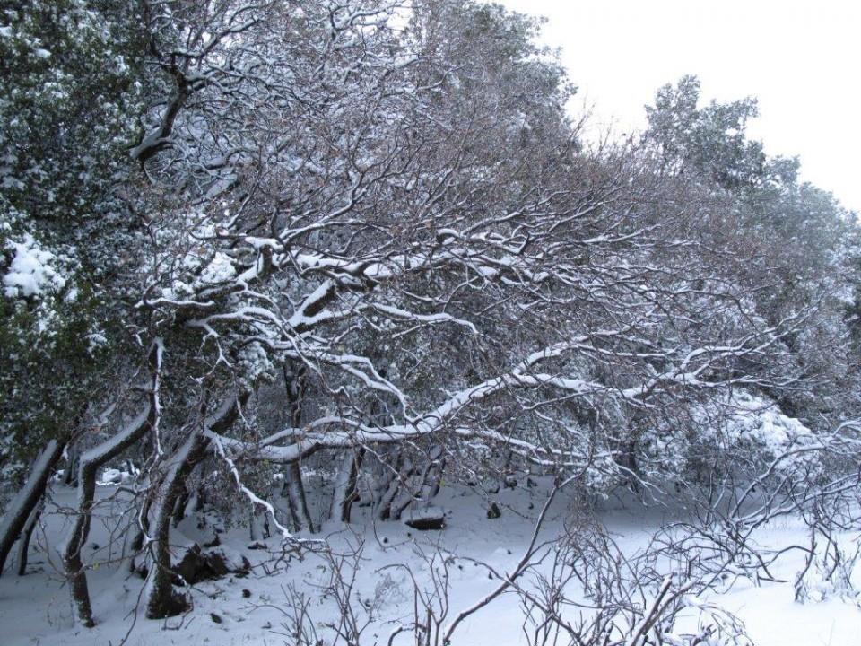 Boissieri's Oak